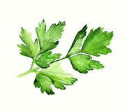 Watercolor parsley Stock Image