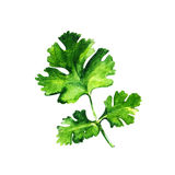 Watercolor parsley on white background. Watercolor parsley isolated on white background Royalty Free Stock Photo