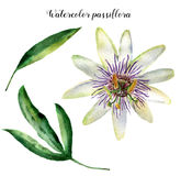 Watercolor passiflora with leaves. Hand painted exotic floral illustration isolated on white background. Tropic flower Stock Images