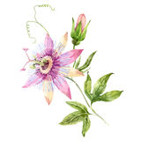 Watercolor passion flower Royalty Free Stock Image