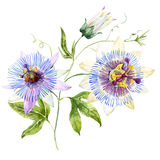 Watercolor passion flower Stock Photo