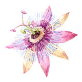Watercolor passion flower Royalty Free Stock Photography