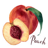 Watercolor peach with leaf and half cut peach, lettering Peach. Hand drawn food illustration on white background. For Stock Photography