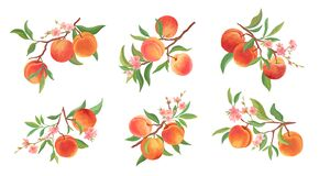 Free Watercolor Peach Vector Branches Set. Hand Drawn Fruit, Flowers, Leaves And Sliced Pieces Stock Photos - 199991273