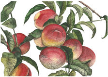 Watercolor peaches hand drawn Royalty Free Stock Photo