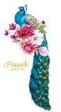 Watercolor peacock with flowers Stock Image