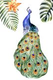 Watercolor peacock isolated on a white background vector illustration