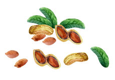 Watercolor peanut Stock Photos