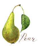 Watercolor pear with leaf. Botanical illustration. Stock Images