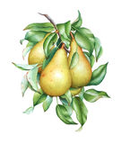 Watercolor pears on the branch. Watercolor botanical illustration of the pear tree branch with fruits and leaves stock illustration