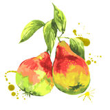 Watercolor pears, summer hand drawn fruit Stock Photos