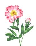 Watercolor peonies στο άσπρο υπόβαθρο Στοκ Εικόνες