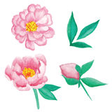 Watercolor peonies flower set. Isolated watercolor peonies flower set Stock Photos