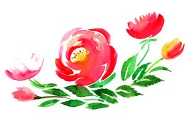 Watercolor peonies Royalty Free Stock Images