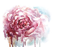 Watercolor peony background, vector illustration Royalty Free Stock Photography