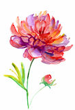 Watercolor peony. Stock Photo