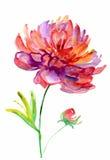 Watercolor peony. Beautiful Peonies flowers, Watercolor painting Stock Photo