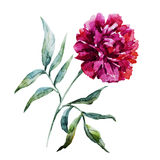 Watercolor peony flower Royalty Free Stock Photo