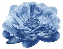 Watercolor peony flower blue.  Flower isolated on white background. No shadows with clipping path. Close-up. Watercolor peony flower blue. Flower isolated on stock photos
