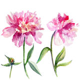 Watercolor peony flower, bud hand drawn illustration isolated on white Stock Photo