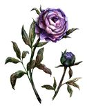 Watercolor lilac peony stock illustration