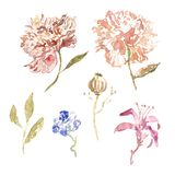 Spring Watercolor peony flowers set in vintage style with leaves isolated on white background. royalty free illustration