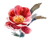 Watercolor peony Royalty Free Stock Images
