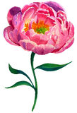 Watercolor Peony. On white background. Hand painted peony flower and green leaves. Floral illustration for your design, background or print Stock Images