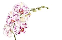 Watercolor phalaenopsis orchid branch isolated on white background. Stock Photo