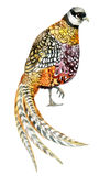 Watercolor pheasant isolated on white. Watercolor Reeves pheasant isolated on white background. Hand painted illustration Stock Photos