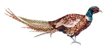 Watercolor pheasant. Stock Photo