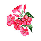 Watercolor phlox. Hand painting. Illustration for greeting cards, invitations, and other projects. Watercolor phlox. Hand painting. Illustration for greeting Royalty Free Stock Image