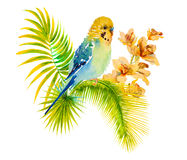 Watercolor picture of budgie on white background Royalty Free Stock Image