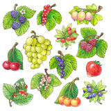 Watercolor picture of different fruits. Colorful watercolour picture with black outline of different growth  isolated on white background with clipping path Stock Images