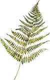 Watercolor picture of a fern Stock Photos