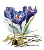 First flowers watercolor purple crocuses with bulbs. Watercolor picture, the first flowers delicate crocuses with bulbs on a white background Stock Photo