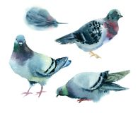 Watercolor pigeons. Royalty Free Stock Photo