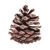 Watercolor pine cone for decoration. Hand drawn watercolor illustration botanical, painting Royalty Free Stock Image