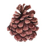 Watercolor pine cone for decoration. Hand drawn watercolor illustration botanical, painting Stock Images