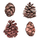 Watercolor pine cone for decoration. Hand drawn watercolor illustration botanical, painting Stock Image