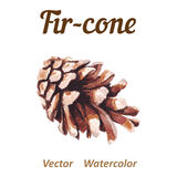 Watercolor pine cone on a white background. Stock Images