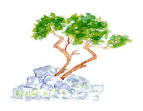 Watercolor Pine Tree Growing on Stones Royalty Free Stock Photo