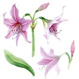 Watercolor pink amaryllis flower. Floral botanical flower. Isolated illustration element. Aquarelle wildflower for background, texture, wrapper pattern, frame vector illustration