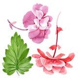 Watercolor pink begonia flower. Floral botanical flower. Isolated illustration element. Aquarelle wildflower for background, texture, wrapper pattern, frame or vector illustration