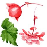 Watercolor pink begonia flower. Floral botanical flower. Isolated illustration element. Aquarelle wildflower for background, texture, wrapper pattern, frame or royalty free illustration