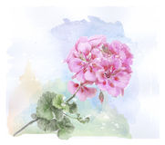 Watercolor pink geranium flower Royalty Free Stock Photo