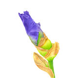 Watercolor pink Iris. Botanical art. Template for a business card, banner, poster, notebook, cosmetics, perfume stock image