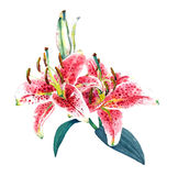 Watercolor pink lilies. Handmade watercolor illustration of two pink lilies. Beautiful colors of exotic flowers.  on white background. Original art Royalty Free Stock Photos