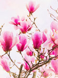 Watercolor Pink Magenta Magnolia Royalty Free Stock Photos