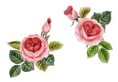 Vintage watercolor roses pink set. Watercolor Pink Peonies Illustration, Realistic hand drawn roses royalty free illustration